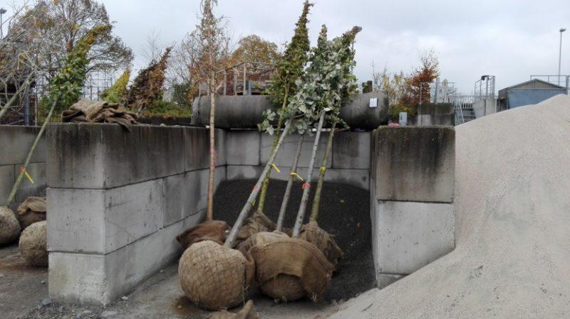 Herrenbergs Stadtbäume – eine, nein ZWEI! Wissenschaften für sich